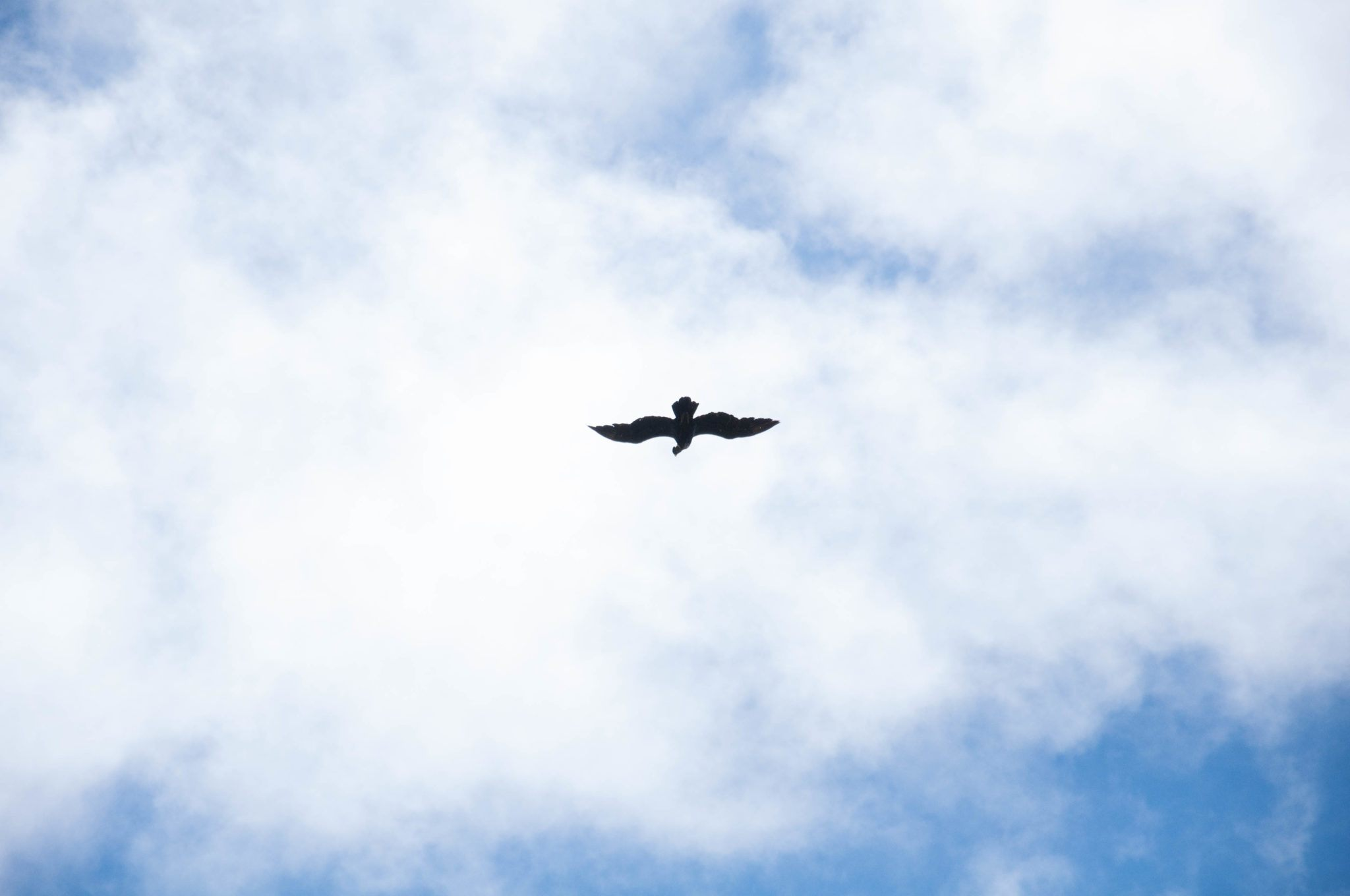 An Andean condor soaring above us on our Cotopaxi horseback ride in Ecuador.