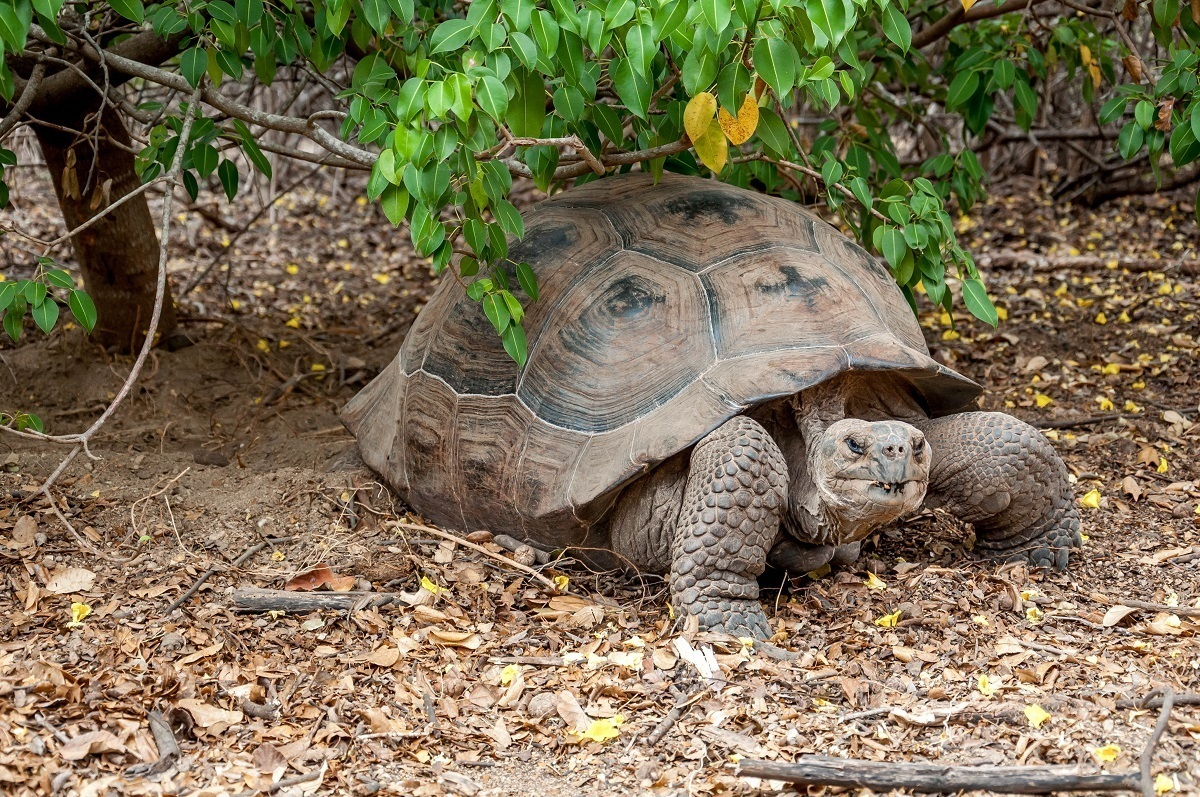 The giant Galapagos tortoise on Isabela Island in the Galapagos Islands