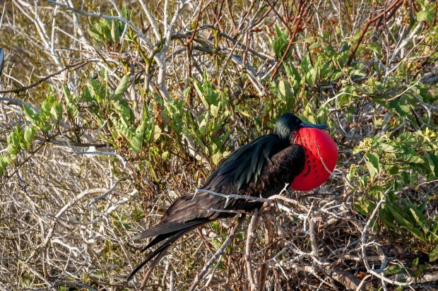 A male Magnificent Frigatebird further to the east in the Galapagos, where vegetation is more plentiful.  Bird watching is certainly one of the best things to do in Galapagos trips.