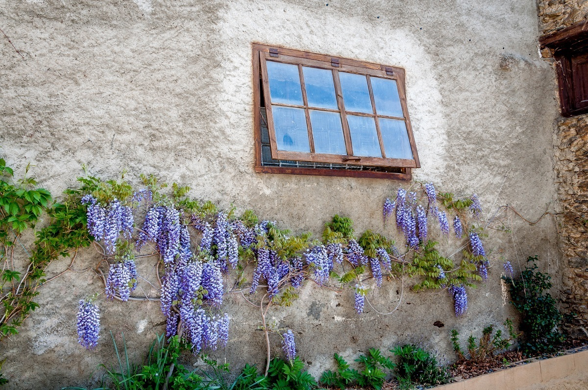 The wisteria plant growing up the wall at Casa Auvinya winery in Andorra