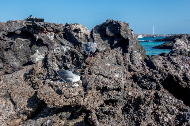 What animals live in the Galapagos Islands?  Birds.  Lots and lots of birds.  The Galapagos swallow-tailed gull is the world's only nocturnal seabird.