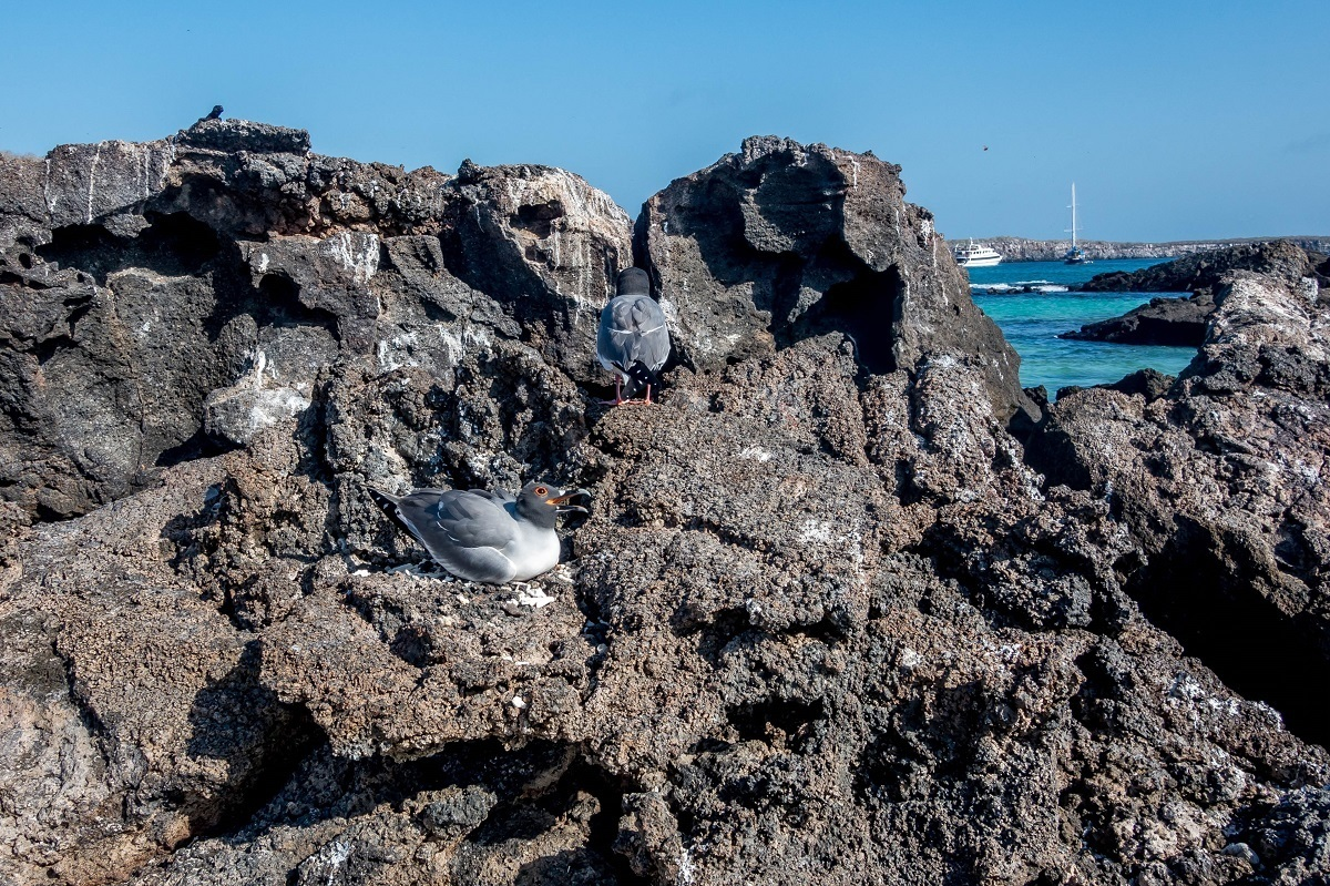 The Galapagos swallow-tailed gull on lava rocks