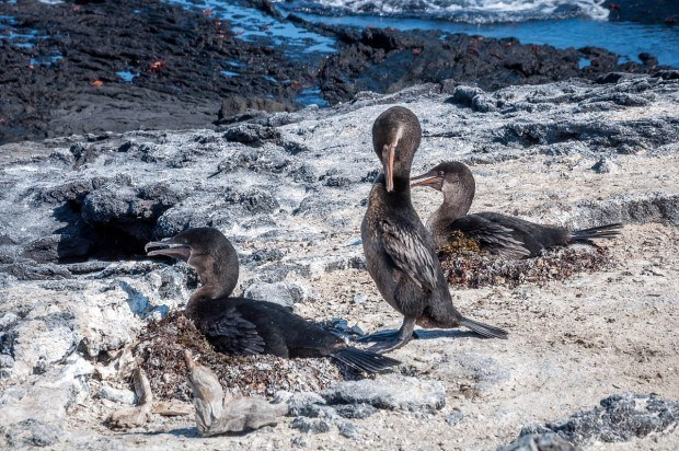 The Galapagos Flightless Cormorants are some of the most unusual of all Galapagos wildlife.