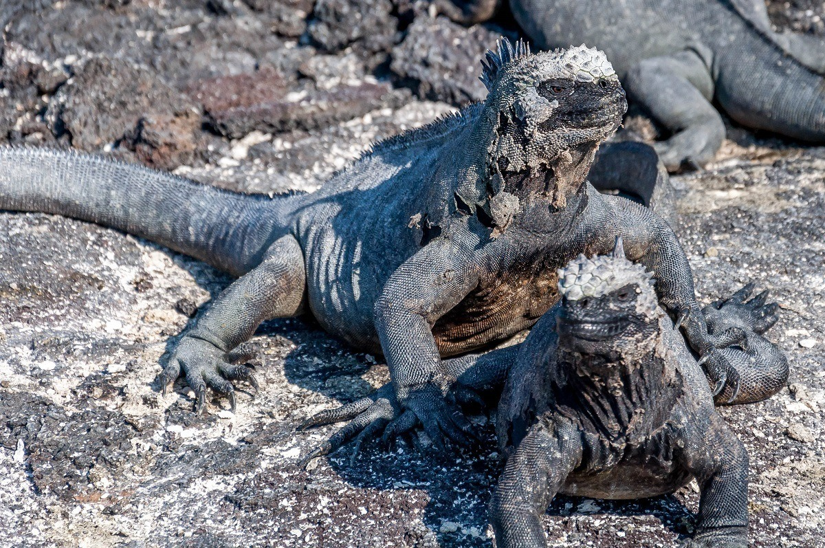 The most unique animals of Galapagos Islands:  The most abundant of all Galapagos wildlife is the Marine Iguana. There were times the populations were so large that we had to literally step over them.