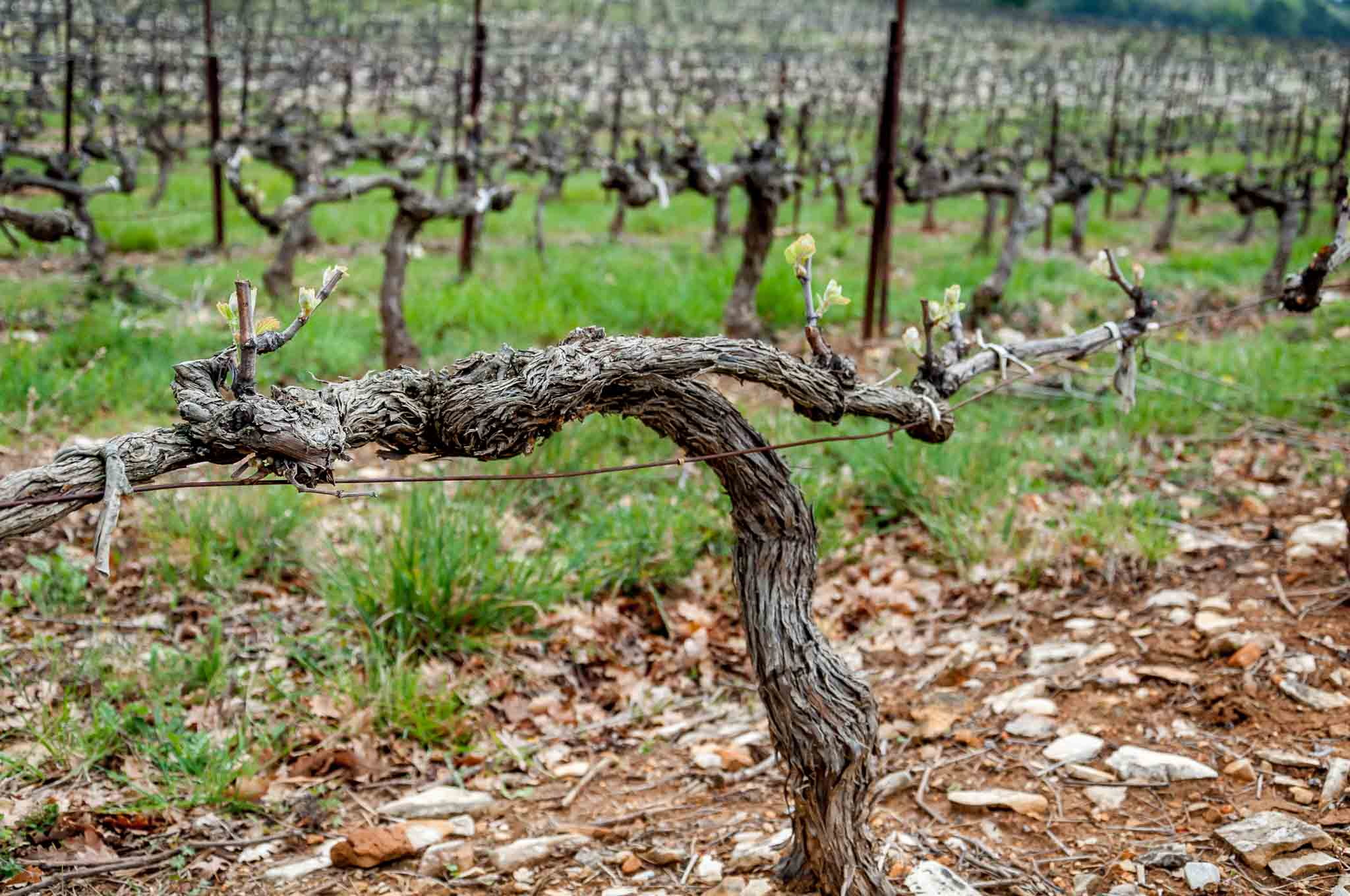 Vineyards in the Cotes du Rhone region of France