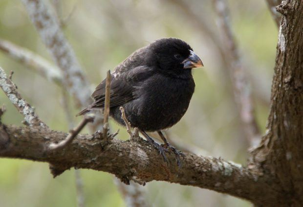 How did animals get to the Galapagos Islands?  Some migrated, but many of them evolved.  The Galapagos finches are perhaps the most famous animals in the Galapagos Islands.