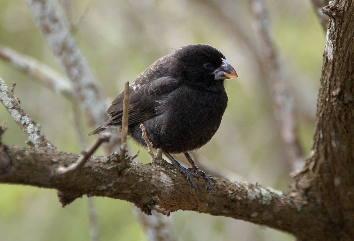 A Galapagos finch in a tree