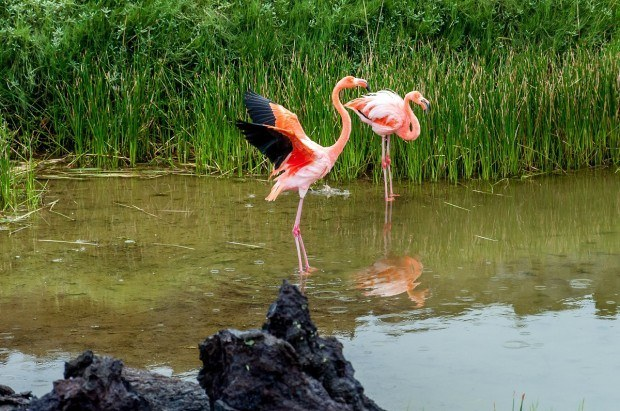 A pair of flamingos in the brackish waters of Santa Cruz Island of the Galapagos.