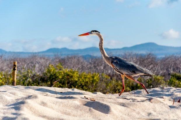 What animals live on the Galapagos Islands?  Lots of birds, like the non-native Great Blue Heron.