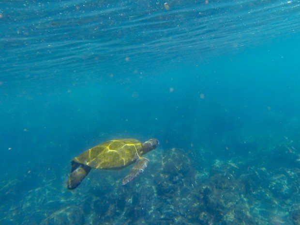 Animals of Galapagos photos:  Snorkeling with a Green Sea Turtle.  These green sea turtles also make an appearance on the endangered species Galapagos animals list. The Galapagos Green Turtle is a little different than standard green sea turtles.