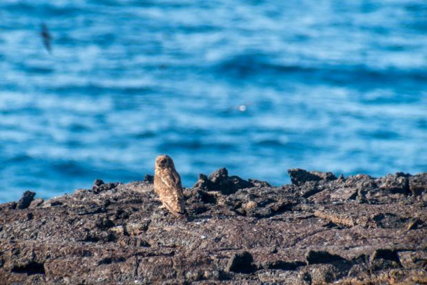 Birding in the Galapagos Islands:  the short-eared owl is one of the rarest Galapagos birds to see.  The short-eared owl ranks high on the animals of the Galapagos Islands list for birders.