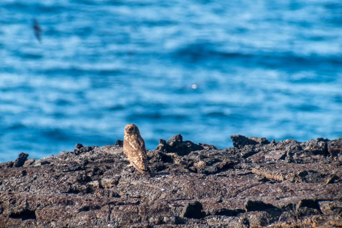 The short-eared owl is a highlight of birding in the Galapagos Islands