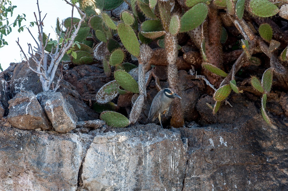 The yellow-crowned night heron by cactus