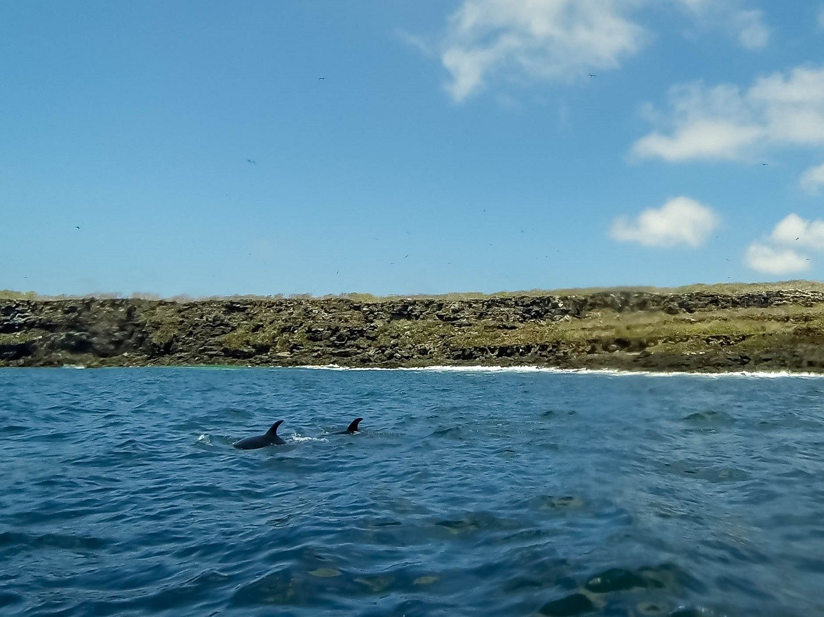 Bottlenose dolphins swimming in the ocean off Genovesa Island