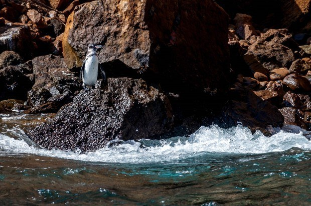 One of the most unique Galapagos animals is the rare Galapagos Penguin, the only penguin found north of the Equator.