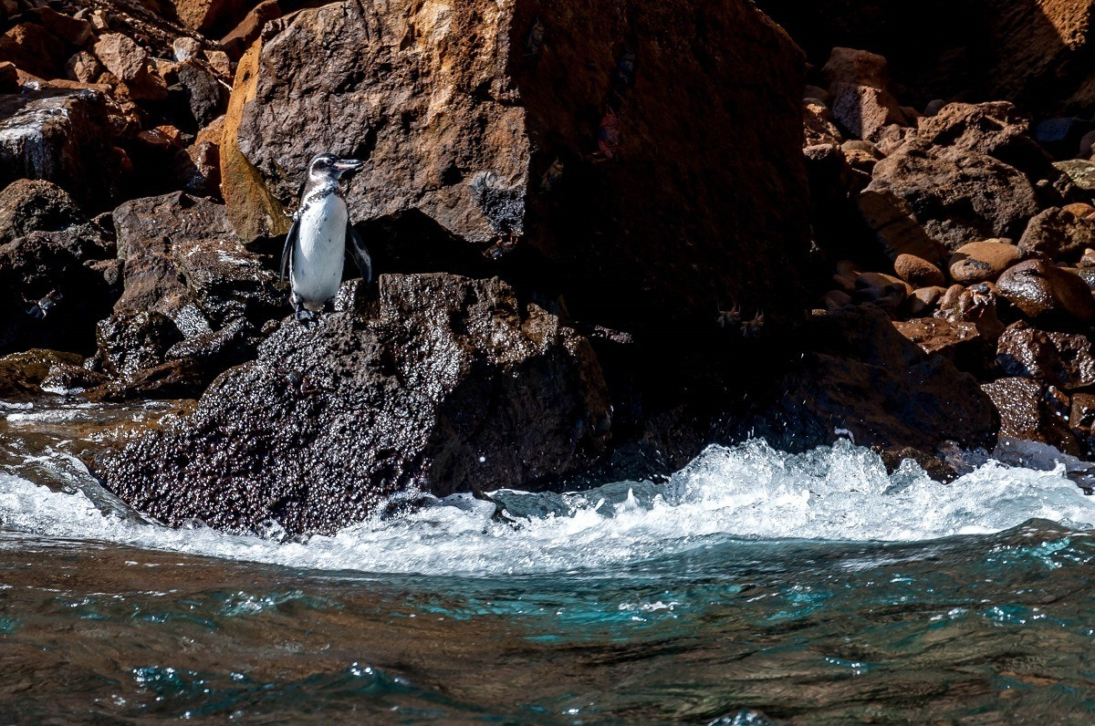Galapagos rare animals alert:  One of the most unique Galapagos animals is the rare Galapagos Penguin, the only penguin found north of the Equator. Despite being one of the Galapagos unique animals, sightings of these Galapagos creatures were very rare.