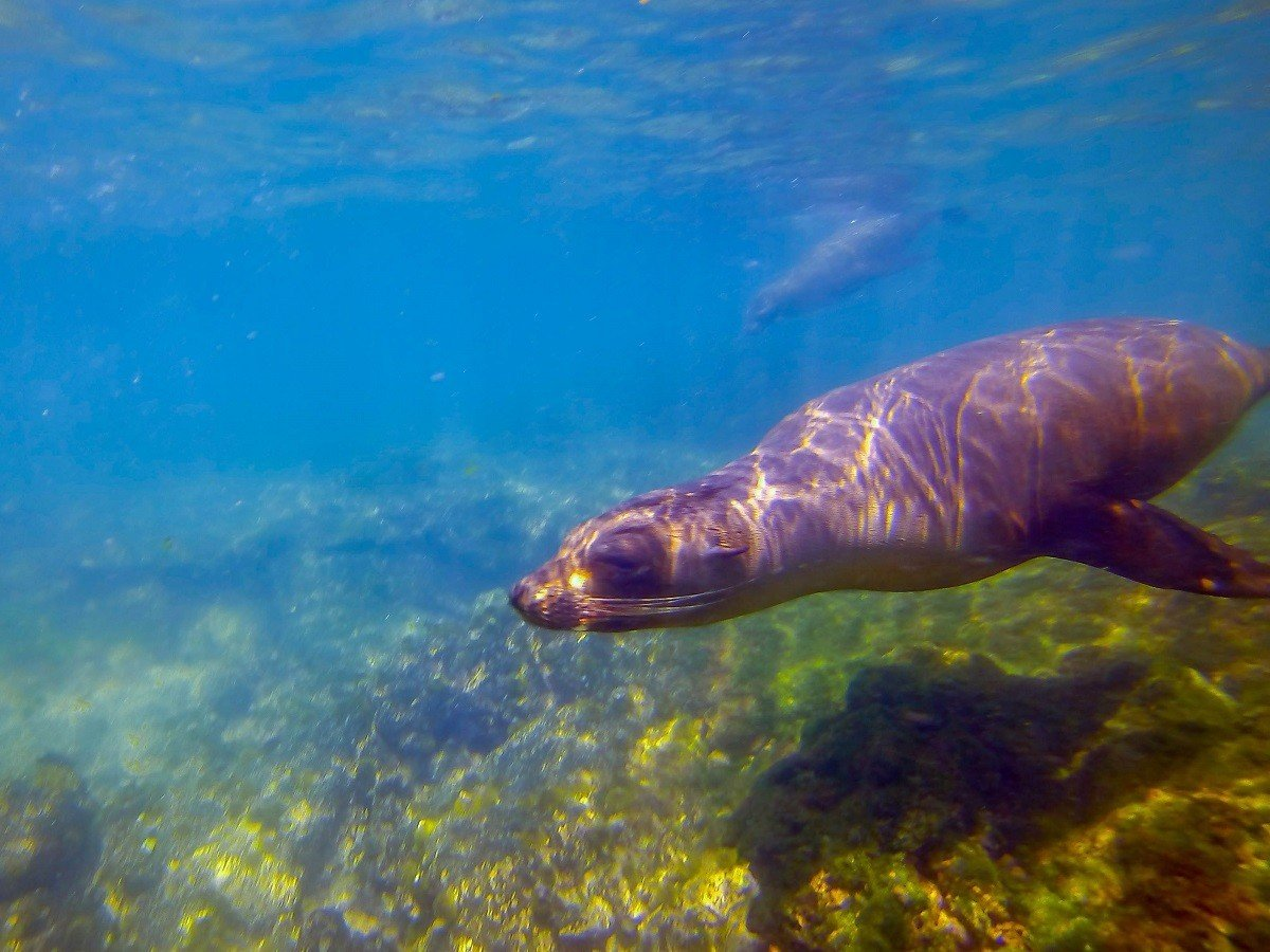 Playful sea lions in the Galapagos Islands swimming underwater