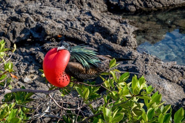 A Frigatebird in the Galapagos Islands.