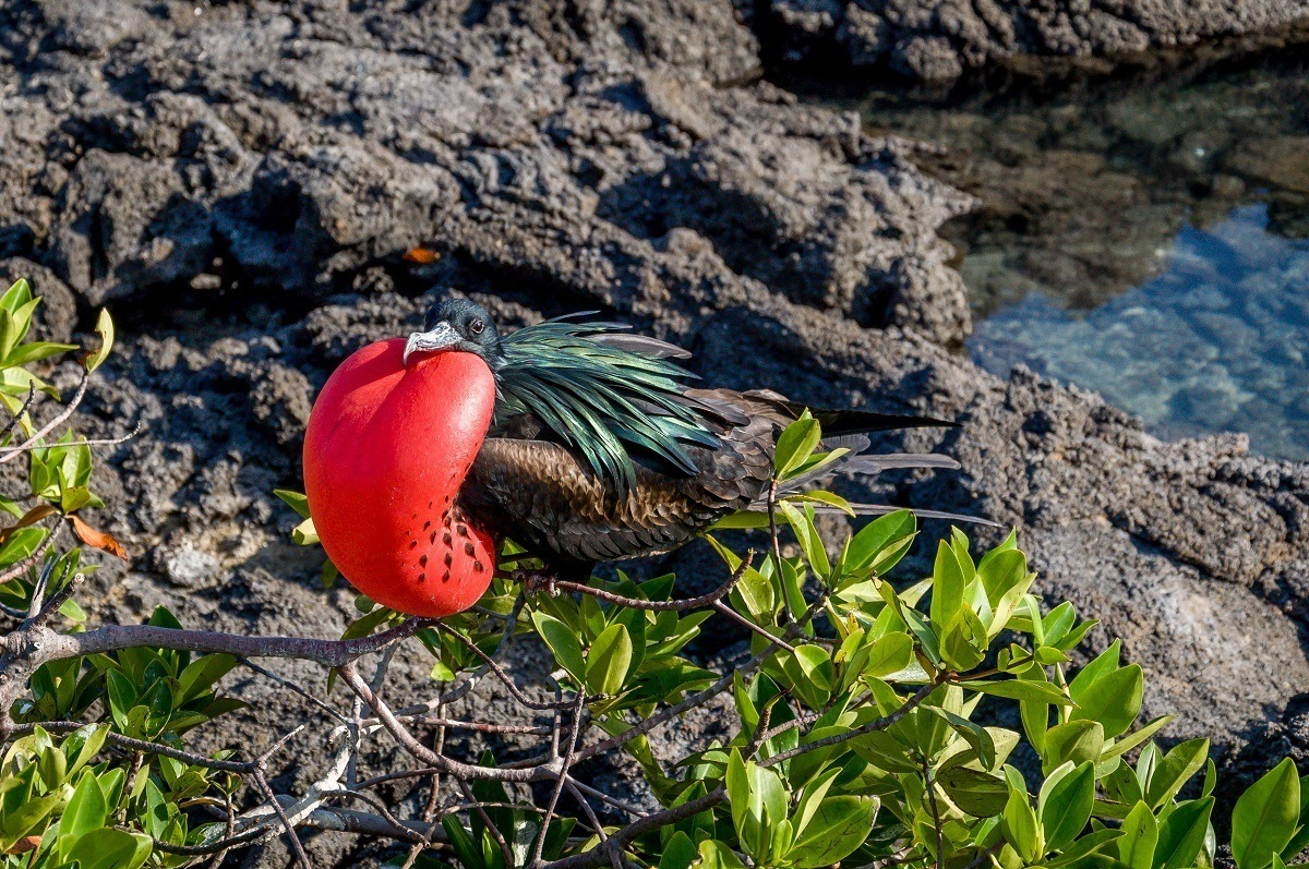 A Frigatebird in the Galapagos Islands.