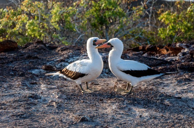 The heart-shaped mating dance of the Nazca Booby in the Galapagos Islands.