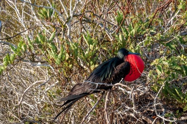 A Frigatebird on Genovesa Island.