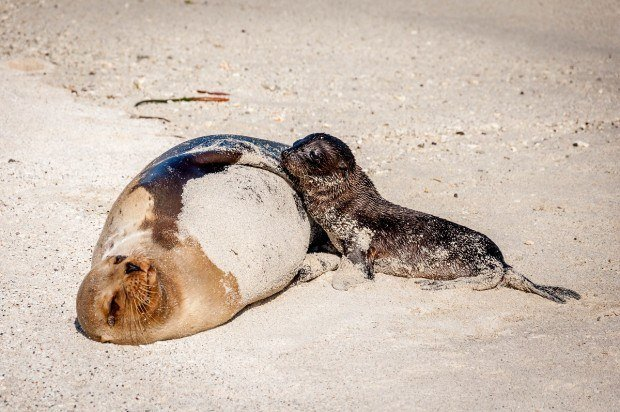 A mother sea lion and her pup on Genovesa Island in the Galapagos.