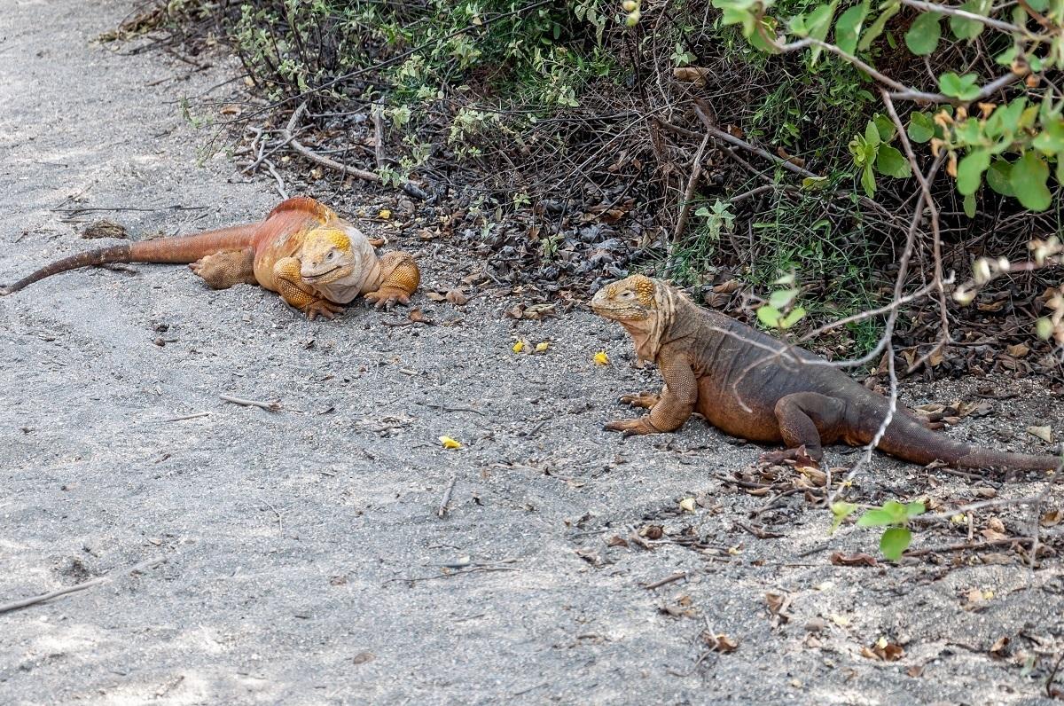 Animals of Galapagos Islands photos:  A pair of giant Galapagos land iguanas on Isabela Island.  These Galapagos Islands unique animals are absolutely beautiful!