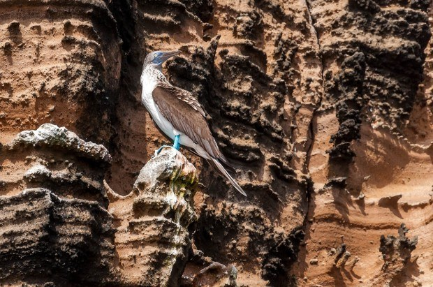 A Blue-Footed Booby perched on Isabela Island.