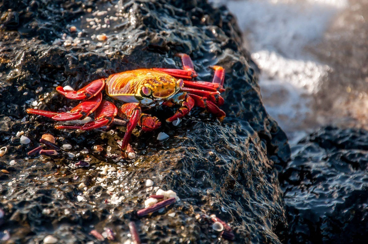Close up of red Sally Lightfoot Crab on black rock
