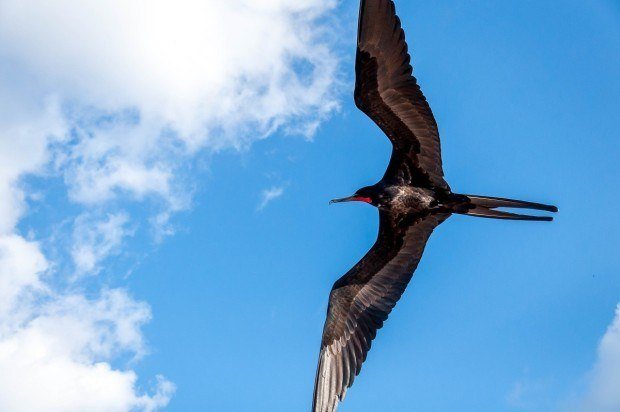 A male frigatebird in flight over Santa Cruz Island.