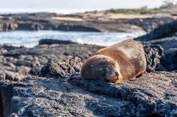 Animals of Galapagos Islands photos:  A Galapagos Fur Seal napping on Santiago Island.  The fur seal is one of the few Galapagos species that is fearful of humans.  In general, the wildlife of the Galapagos Islands did not seem to pay attention to the human presence.