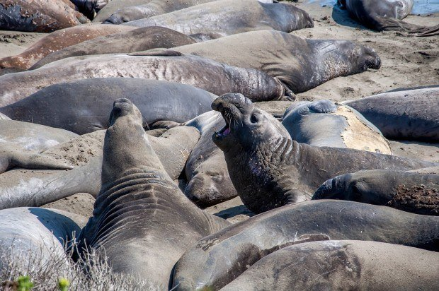 Elephant Seals Cambria CA:  Seeing the elephant seals in San Simeon, California are one of the top things to do near Cambria Ca.  It is just a short drive up the road from Cambria Calif.