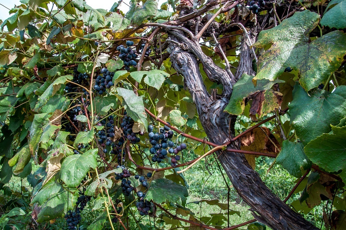 Grapes growing in the vineyard at Presque Isle Wine Cellars, one of the first wineries in Lake Erie wine country