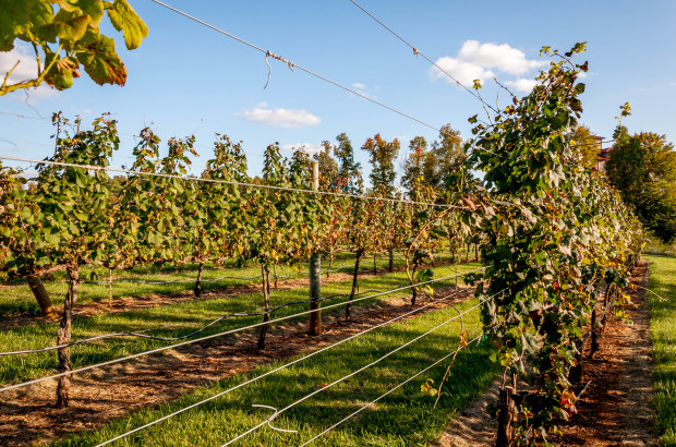 The colorful vineyards in fall at Lexington's Childress Vineyards