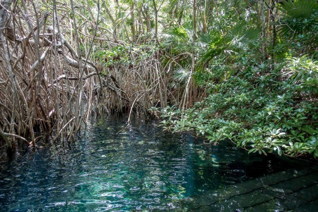 The river entrance at Xel-Ha park is shrouded in mangroves