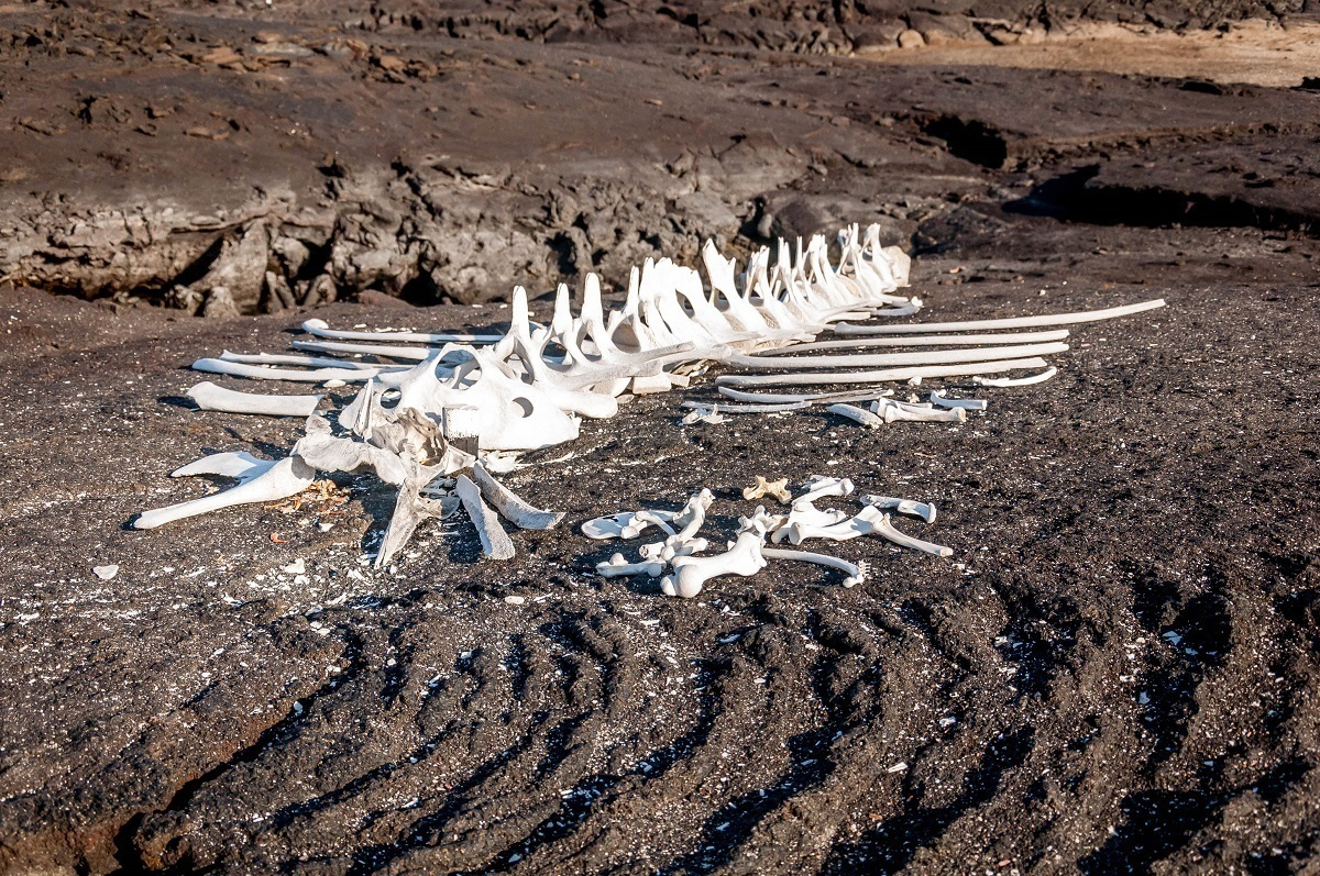 Whale bones on Fernandina Island in the Galapagos Islands of Ecuador | Galapagos photos