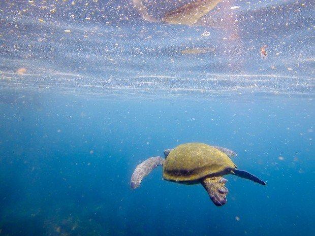 Sea turtle in the Galapagos Islands