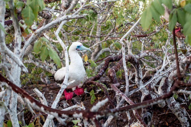 Red-footed booby on Genovesa Island in the Galapagos