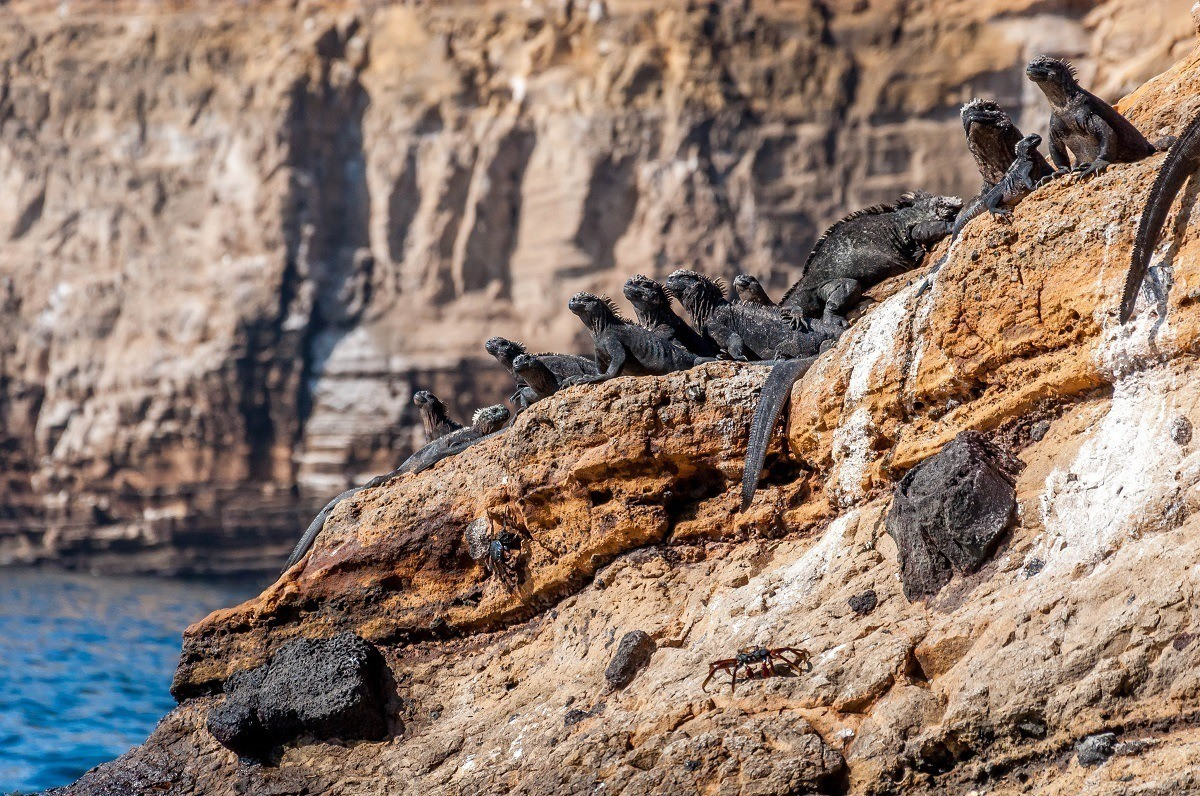 Black marine iguanas sunning on a rock