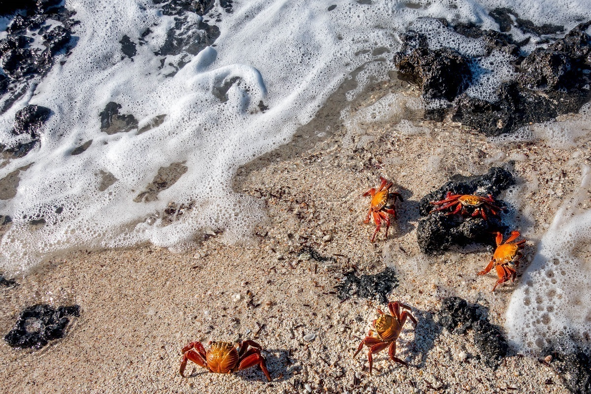 Sally lightfoot crabs in the surf on Santa Cruz Island in the Galapagos