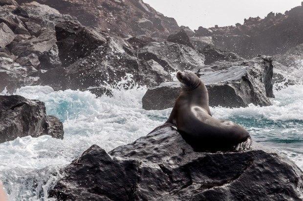 Seal at Punta Vicente Roca in the Galapagos Islands
