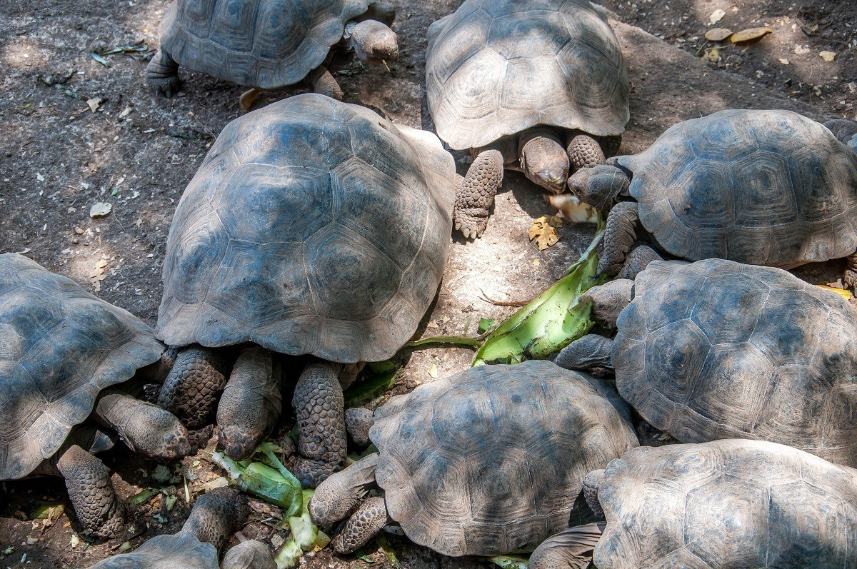 Group of Galapagos tortoises eating