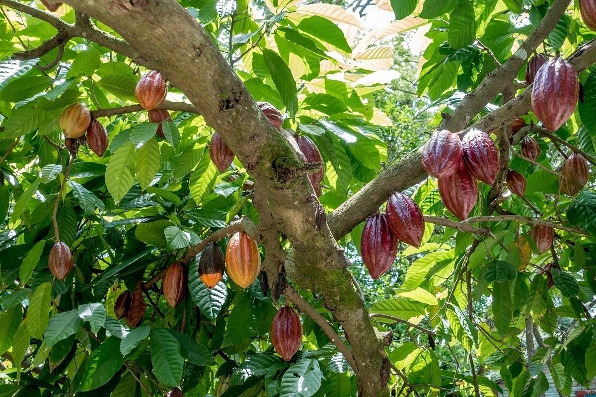 Multi-colored cacao pods in the Dominican Republic