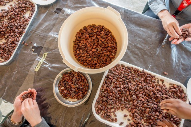 Sorting cacao beans at Chocal chocolate collective