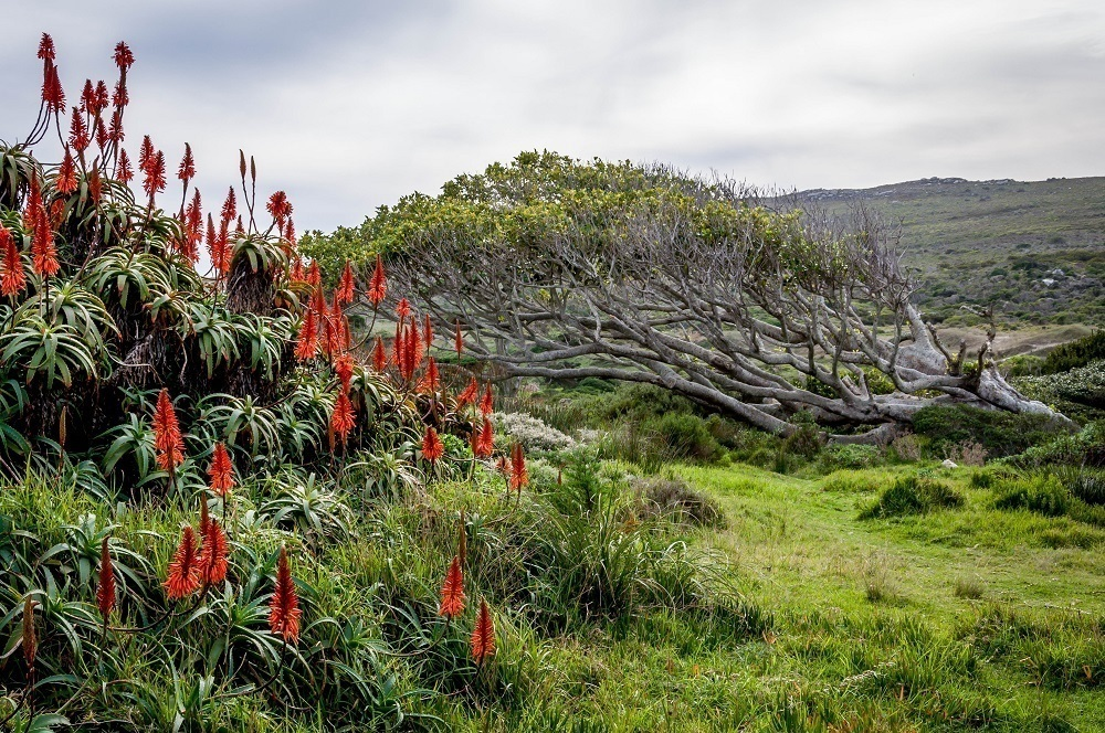 The flora of the Cape Peninsula outside of Cape Town, South Africa.
