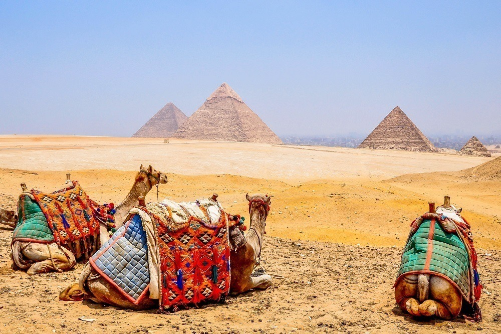 Camels with the Giza Pyramids in the distance