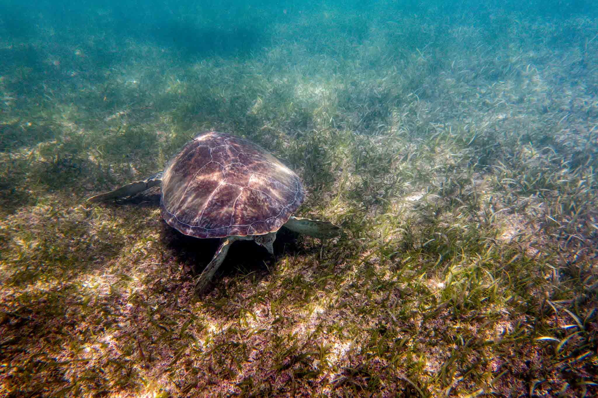Snorkeling with the Akumal sea turtles.