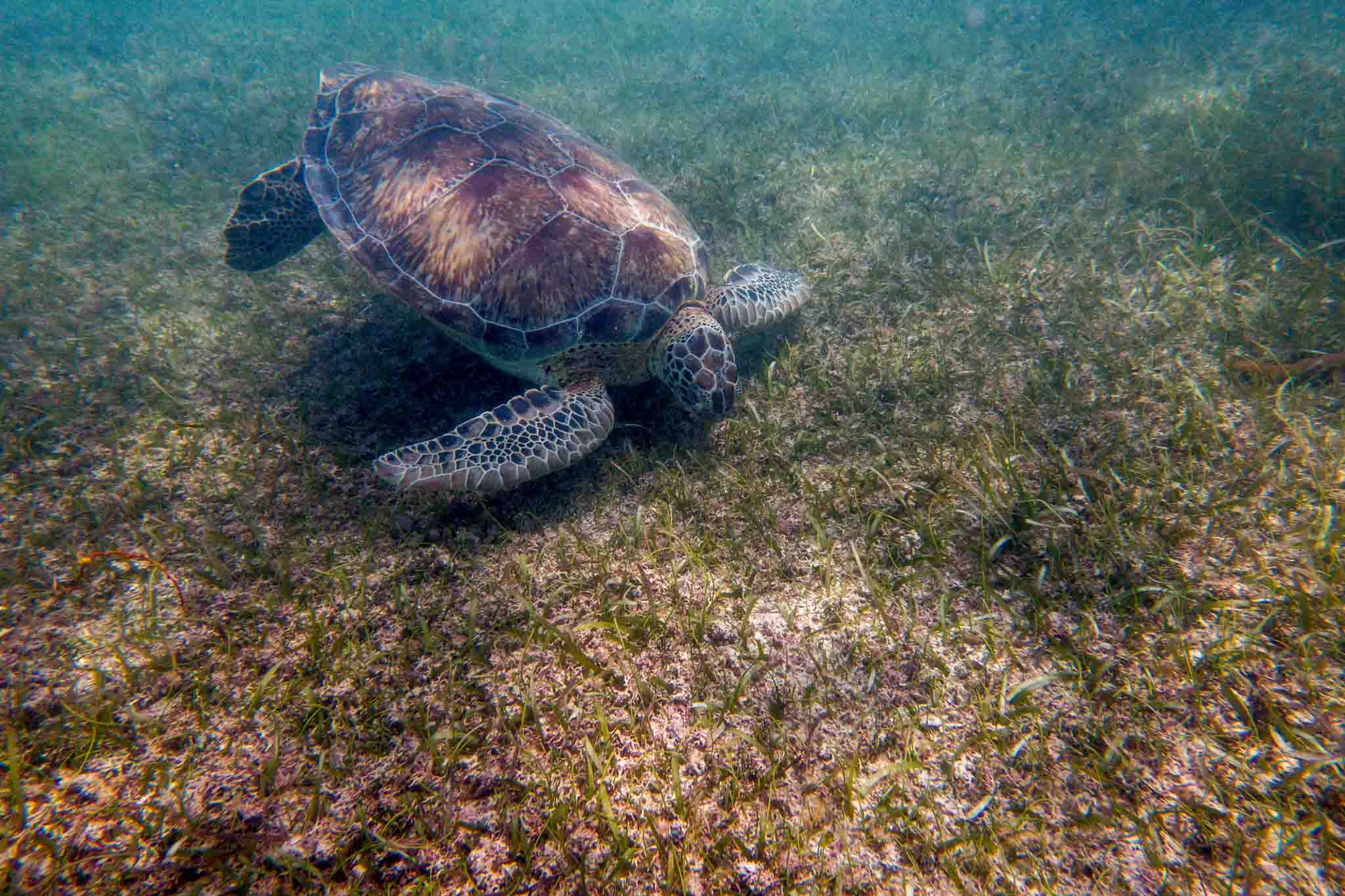 One of the Akumal turtles feeding on the sea grass. This experience is surely some of the best snorkeling in Mexico