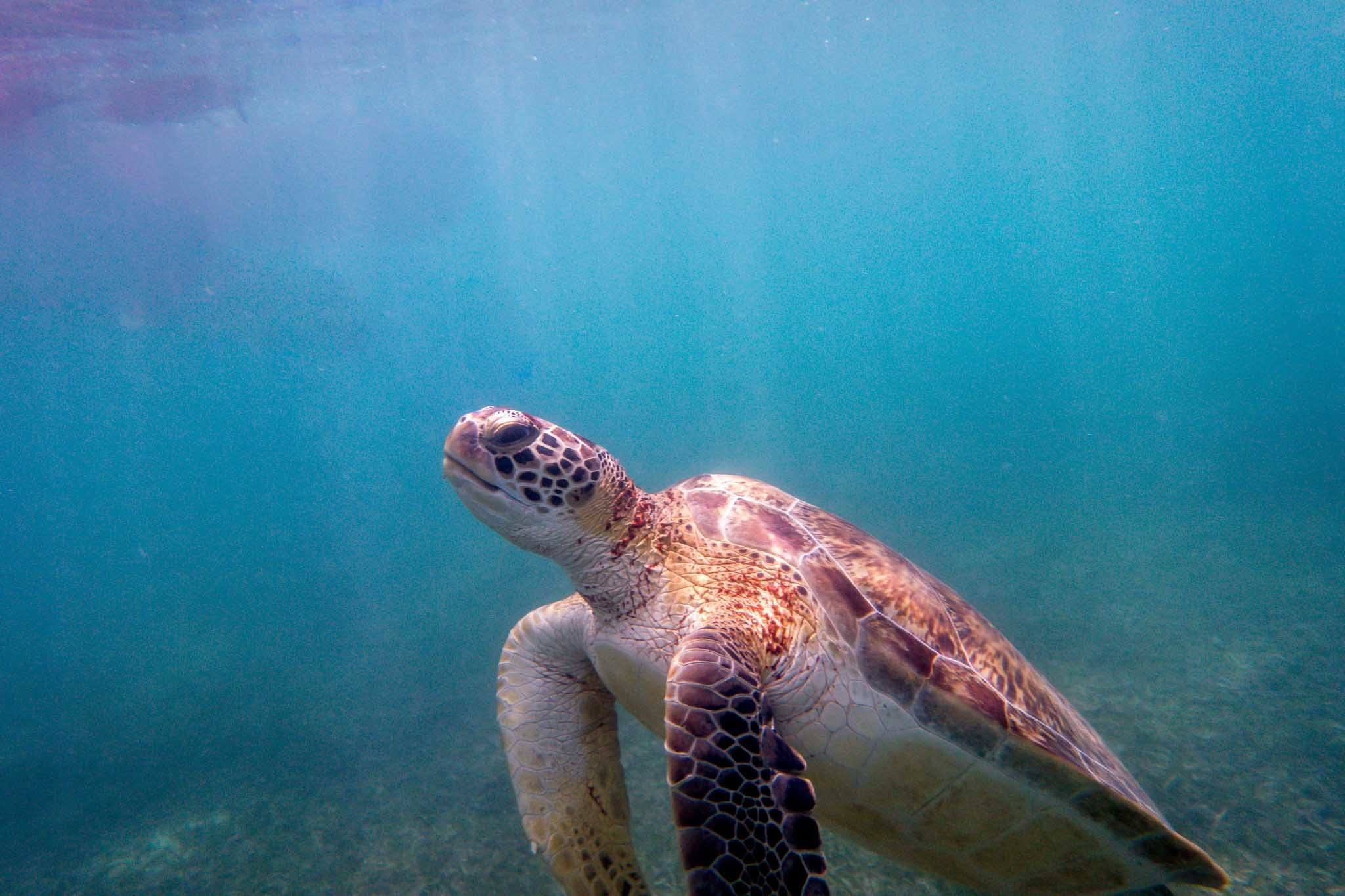 One of the Akumal turtles coming up for air during our Akumal snorkeling adventure.