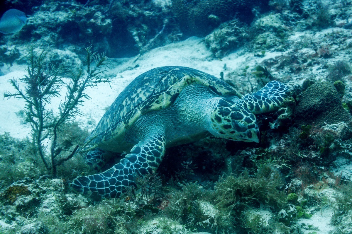 Seeing green sea turtles while scuba diving in Cozumel.